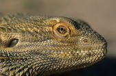 Fotografie vodní drak detail hlavy