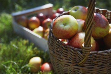 ripe fresh picked apples