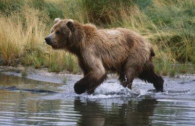 Brown Bear running across water