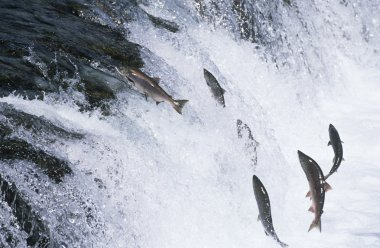 Salmon jumping upstream in river
