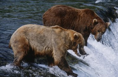 Brown Bears catching Salmon in river