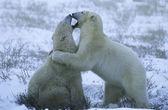 jegesmedve kölykök játék-a hóban