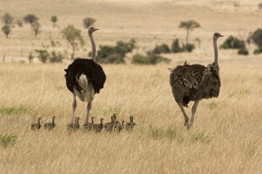 Flock of Ostriches in Savanna