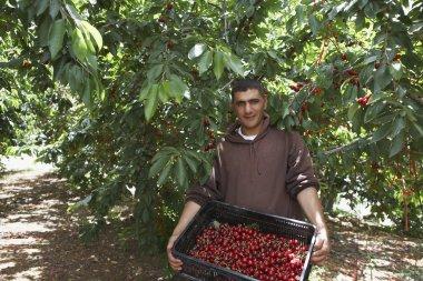farmer with Freshly Harvested Cherries