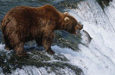 Brown Bear catching Salmon in river
