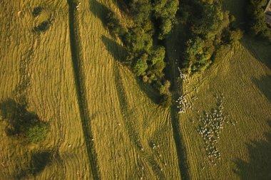 Sheep on farming land