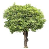 Mangó fa