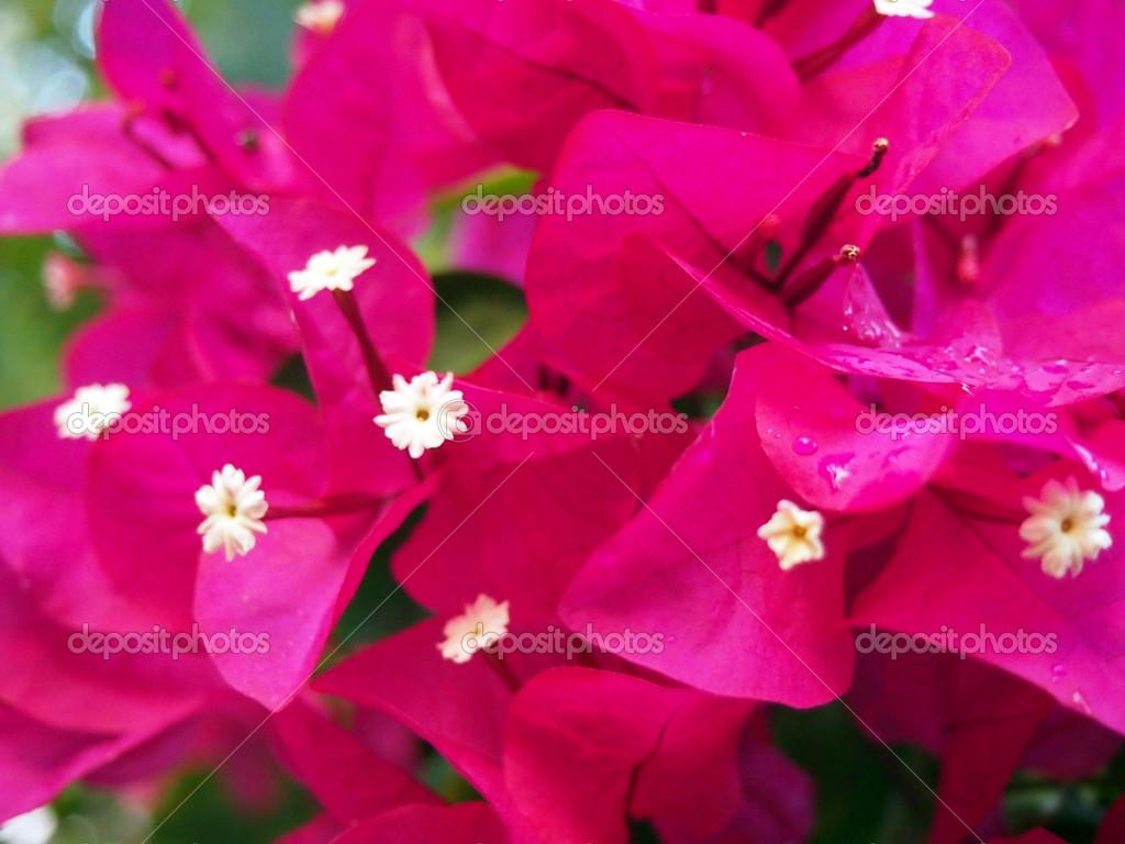 fleurs de bougainvillier rose — photographie ericbvd © #12539530