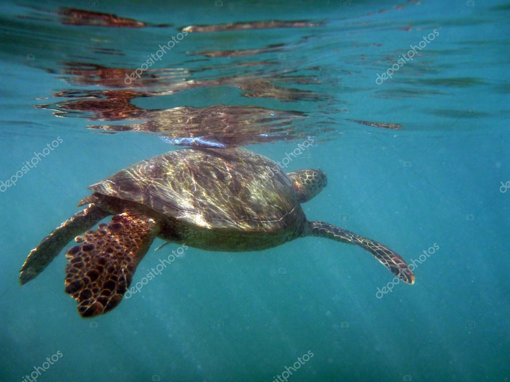 Hawaiian Turtle swims just beneath the surface of the water