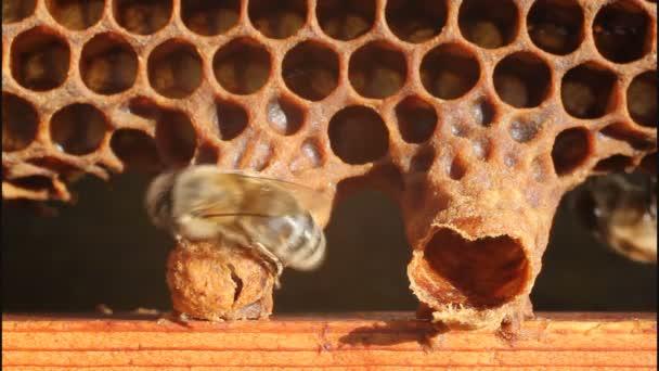 narození královny včel
