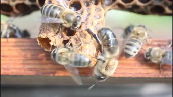 nascita di api regine