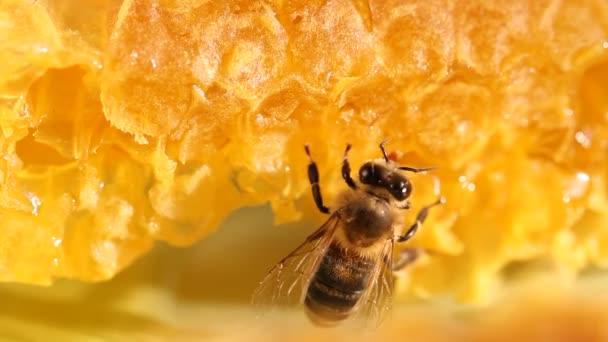získávání včelího medu a nektar