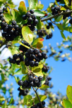branch of black chokeberry fruits in the garden
