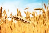 Fotografie Wheat