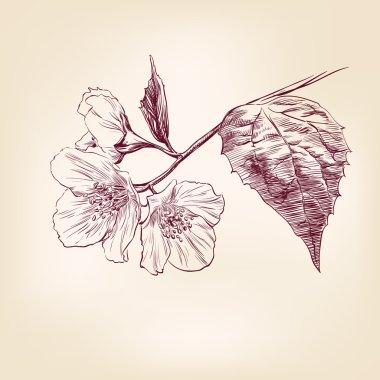 Jasmine hand drawn vector llustration