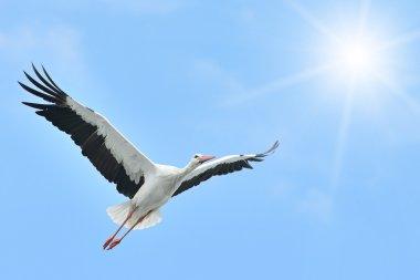 Flying White Stork sunlit