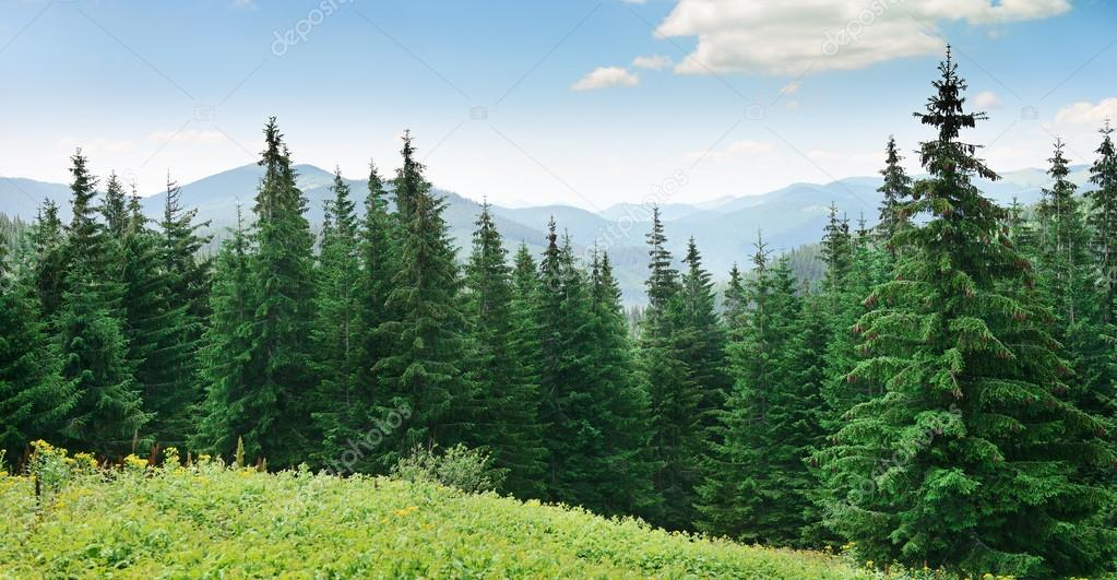 Beautiful pine trees