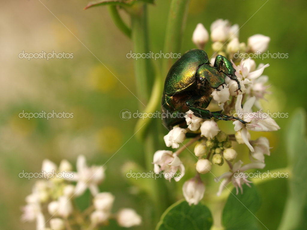 Rose chafer on white flower