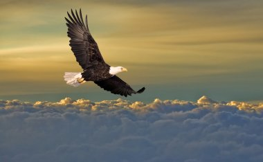 Bald eagle flying above the clou