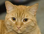 narancssárga macska