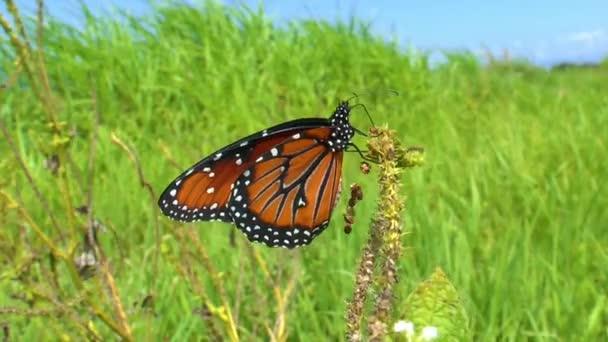 královna motýlů