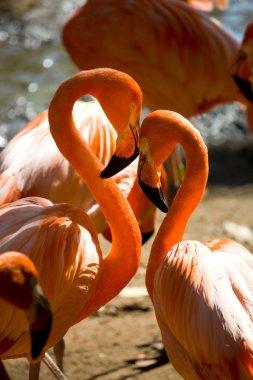 Loving flamingos forming a heart shape