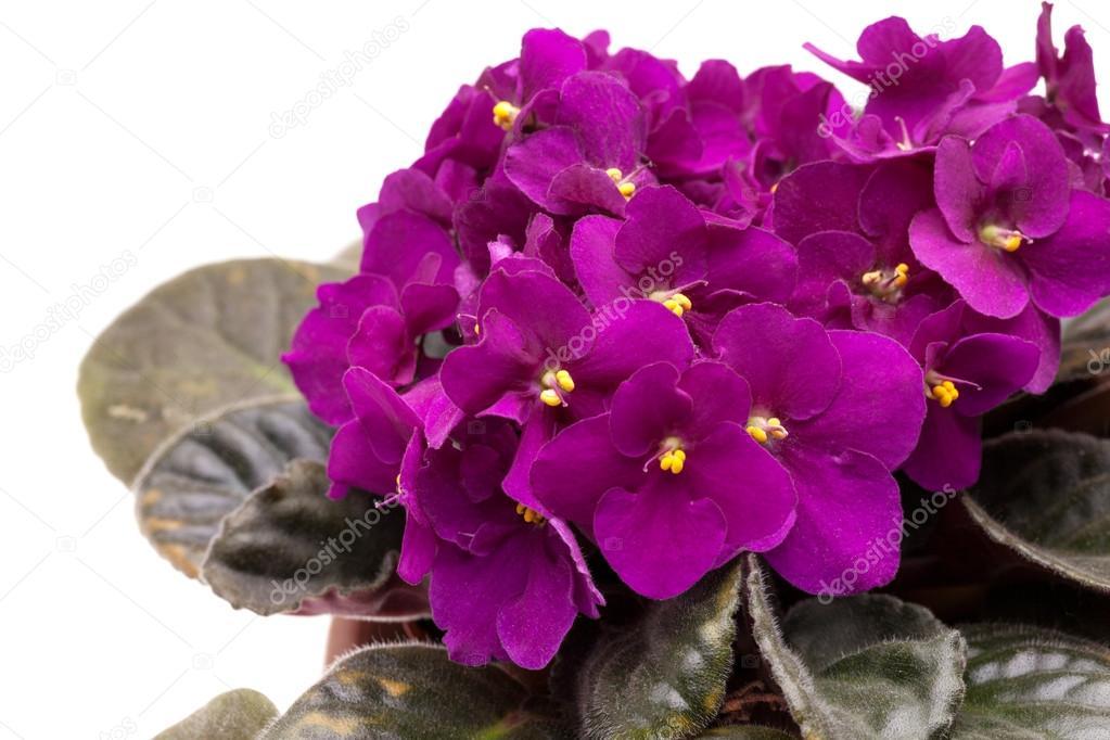 Nice African Violet (SaintPaulia)