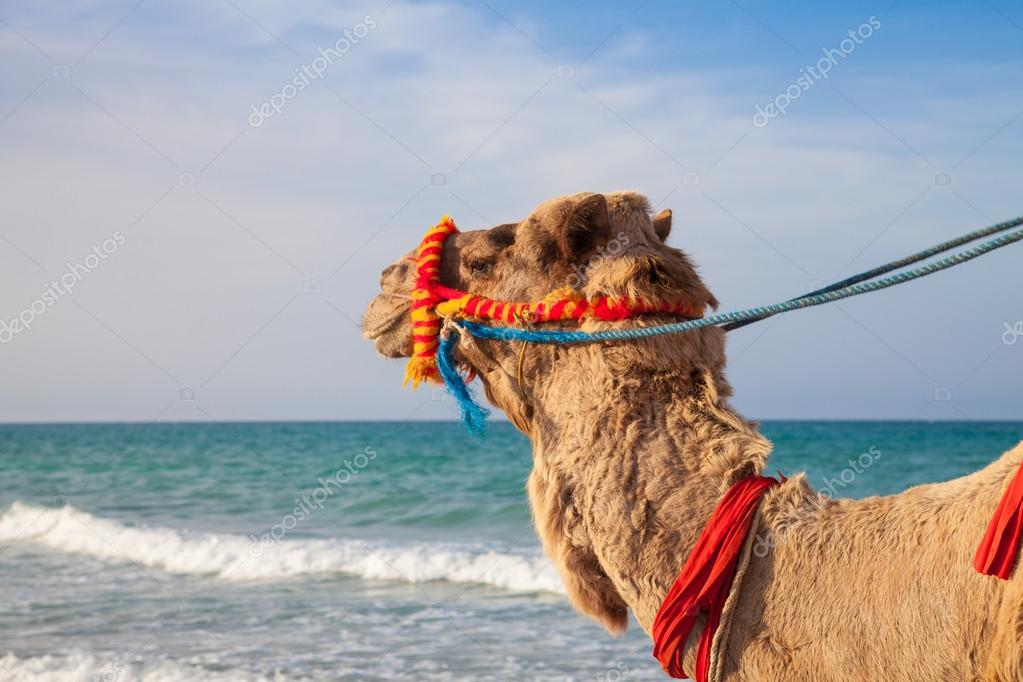 Camel's portrait with sea background