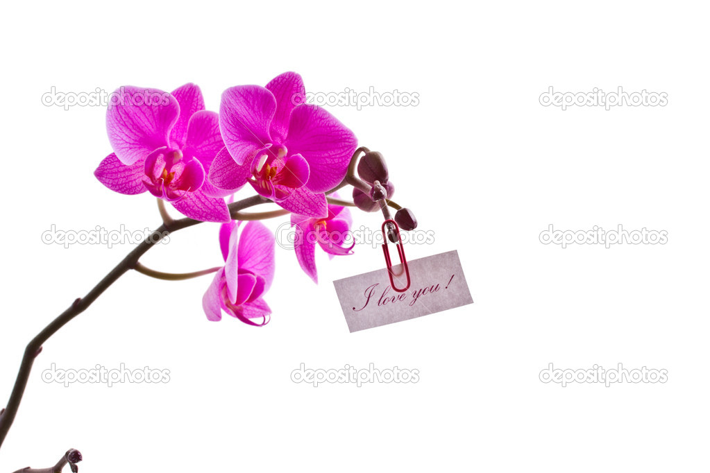 орхидеи с признанием в любви фото пестрыми листьями фиттония