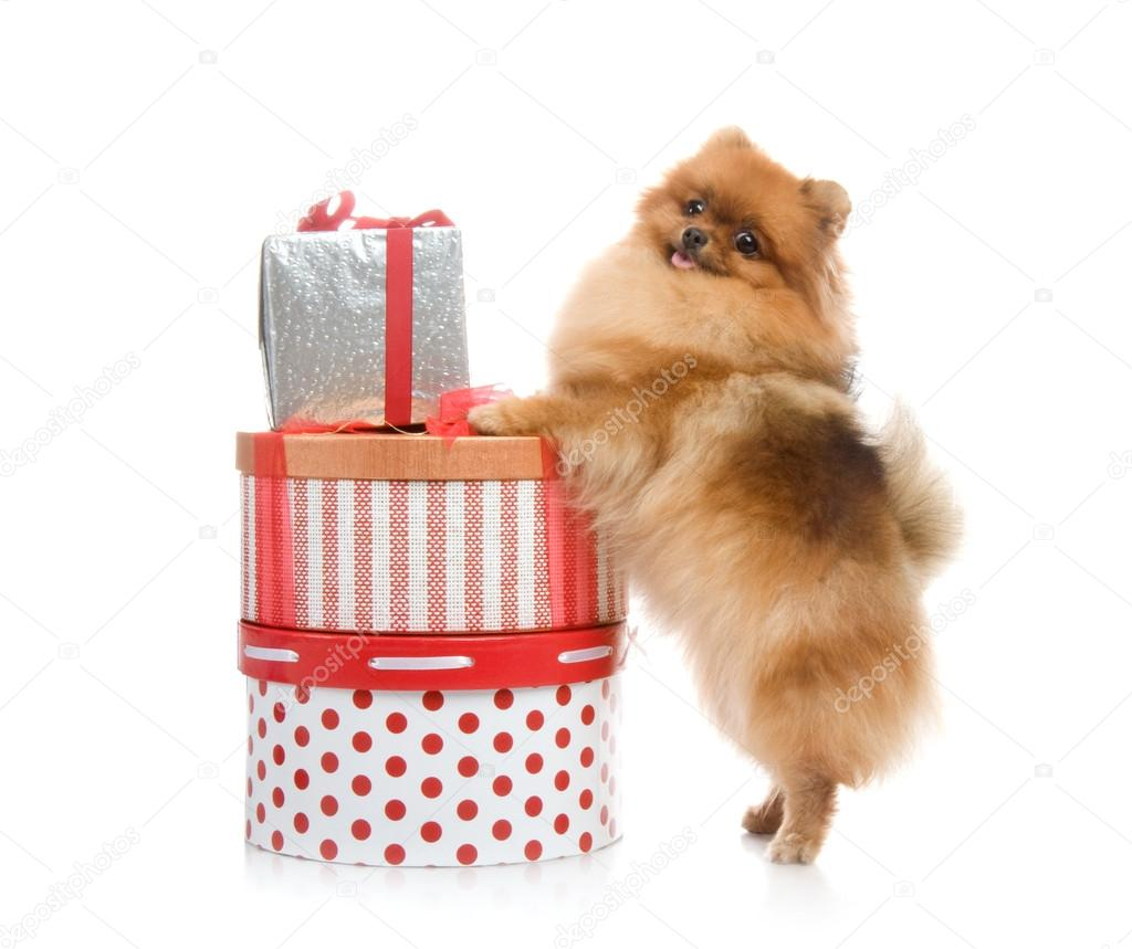 Spitz Pomeranian Dog With Gift Boxes In Studio Shot On White