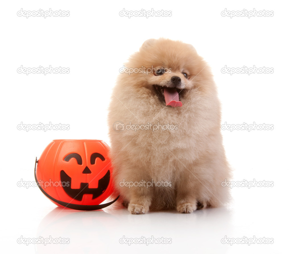 pomeranian dog with halloween pumpkin — stock photo © tandemich