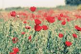 Fotografie louka plná květin corn poppy