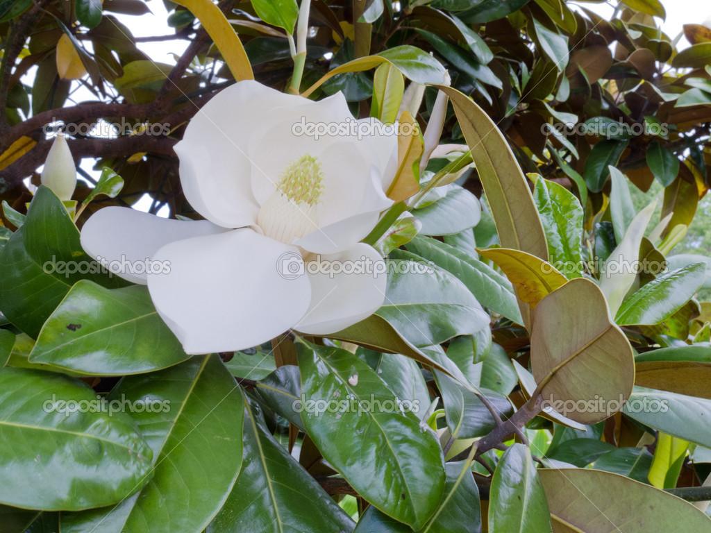 white flower of magnolia sp tree leaves closeup u2014 stock photo