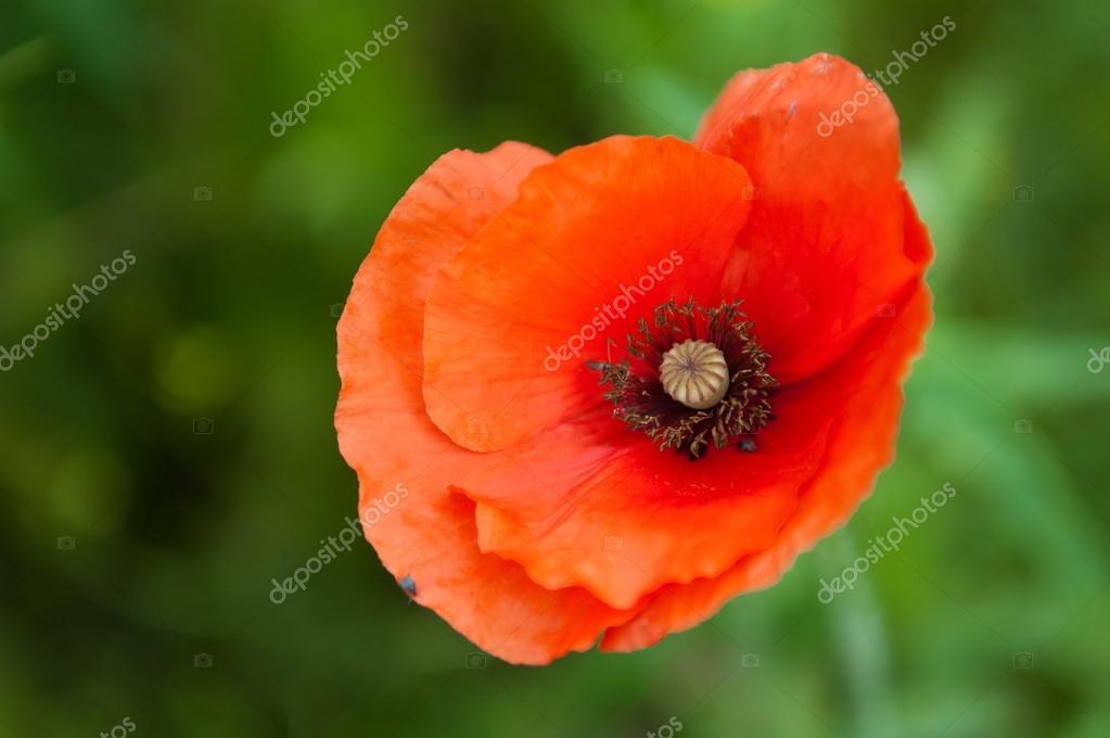 Цветок красный мак