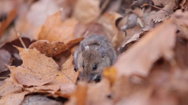 lesní myš jí ořechy pod spadaného listí. Apodemus uralensis