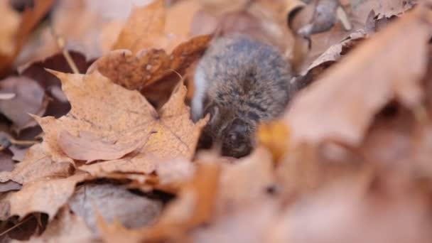 mouse foresta mangia noci trovati sotto le foglie cadute. Apodemus uralensis