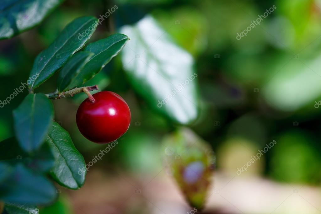 Ripe red bilberry bush branches