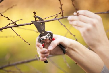Pruning fruit tree - Cutting Branches at spring