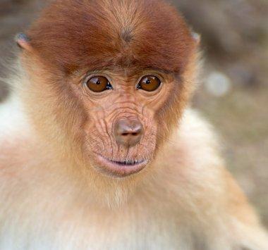 Baby of long nose monkey close up