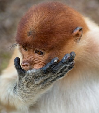 Baby of long nose monkey eating