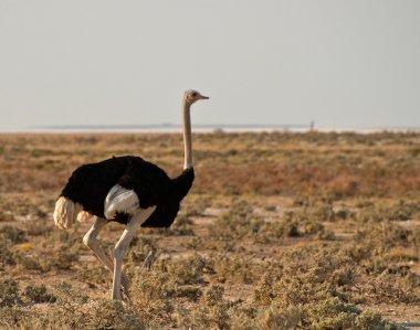 Ostrich running across the savannah
