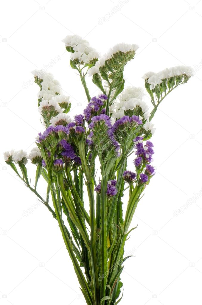White and purple statice flowers stock photo homydesign 12436657 white statice flowers isolated on the white photo by homydesign mightylinksfo