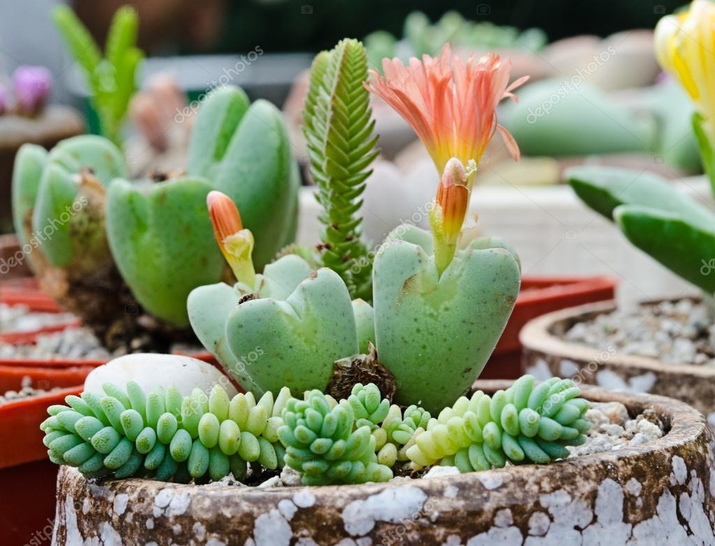 Decorative succulents flowering