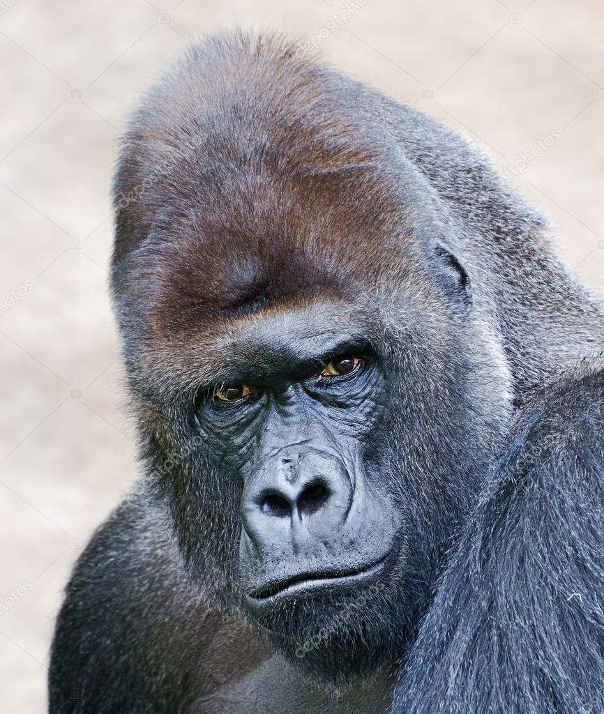 portrait of a male gorilla