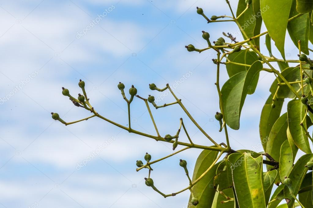 Cloves on tree