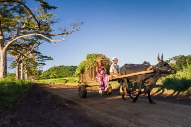 Malagasy couple and zebu cart
