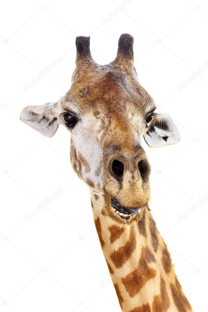 giraffe head white background - photo #13