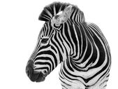 Photo Male zebra isolated on white background