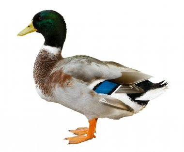 Mallard duck isolated on white background