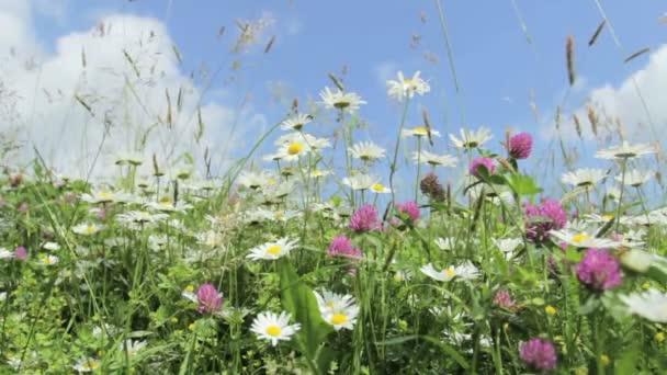 Daisy flower meadow field against blue sky with wind